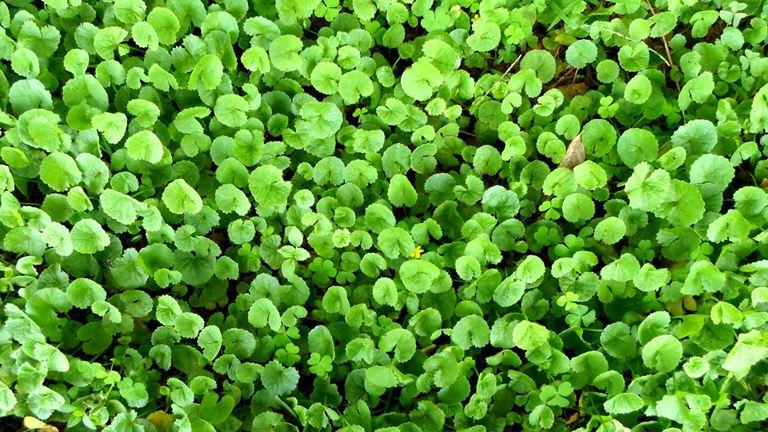 Tumbuhan Centella Asiatica Cica Pegagan, Produk Lokal Yang Mengandung Centella Asiatica